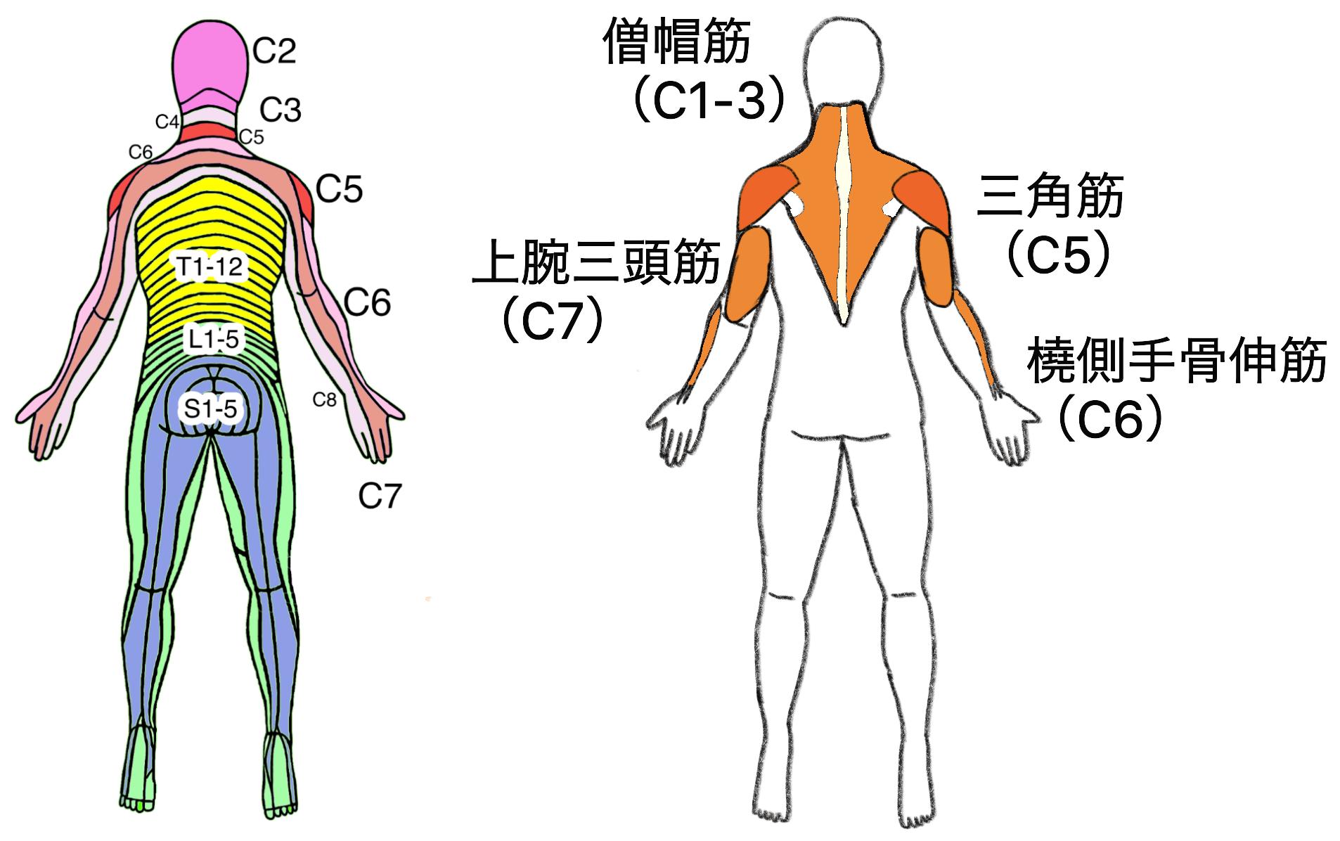 脊髄損傷と残存筋(後)t