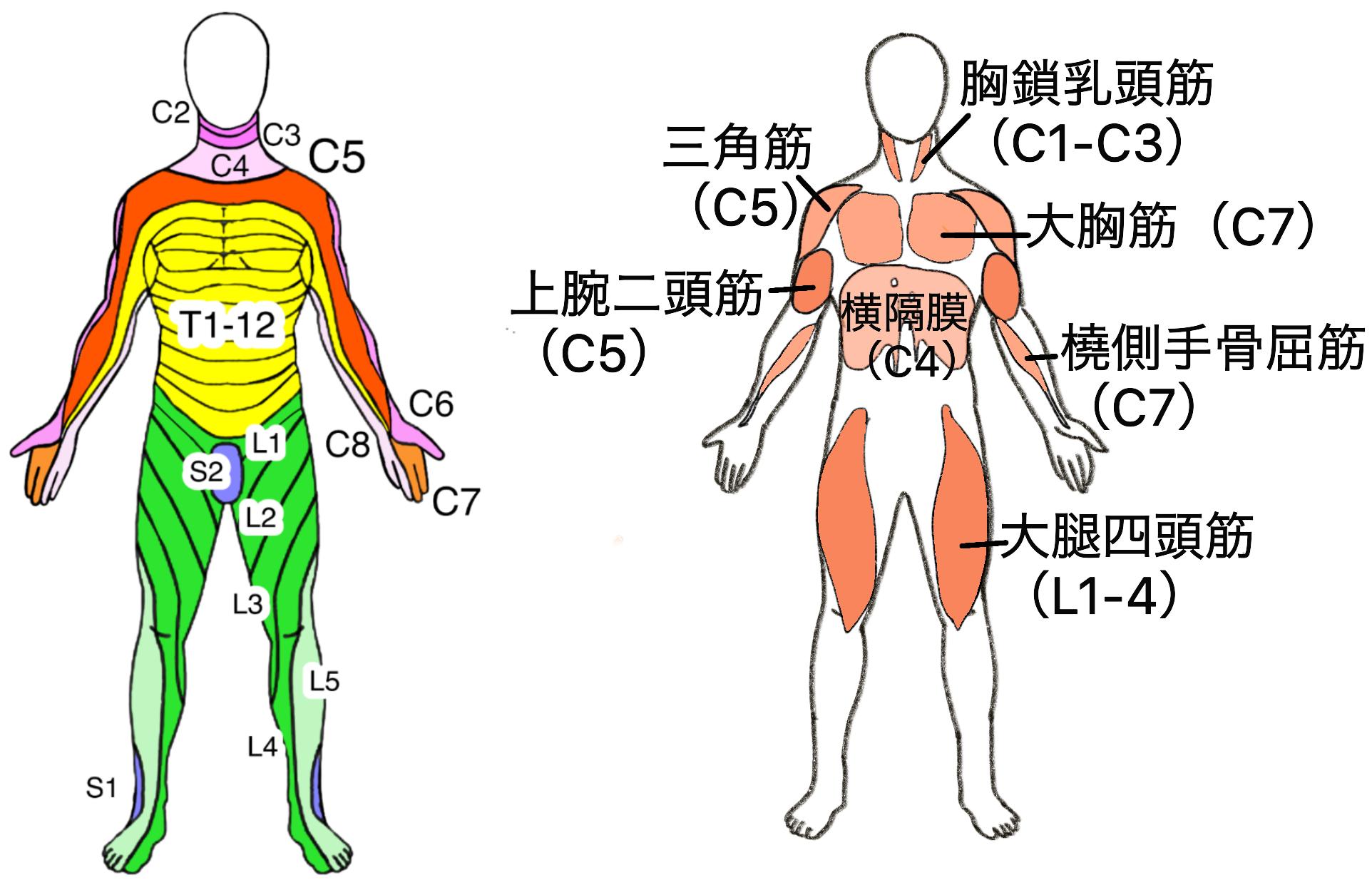 脊髄損傷と残存筋(前)t